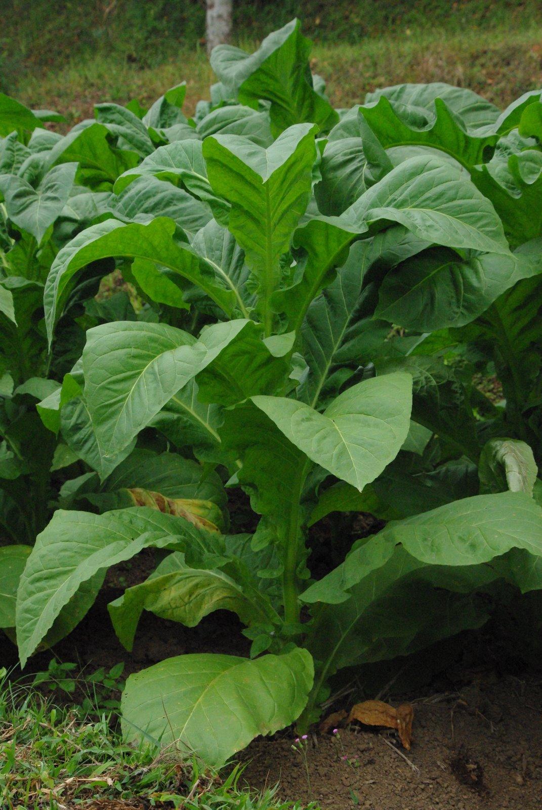 image gallery le tabac plante