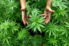 Une variété de cannabis qui soigne le cancer