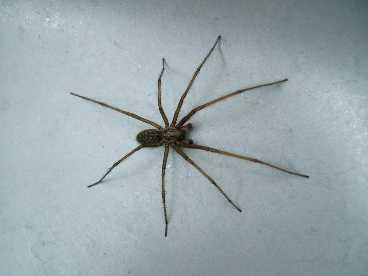 Chasser les araign es de chez soi permaculture for Araigne sauteuse maison