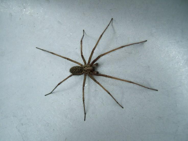Chasser les araignées de chez soi