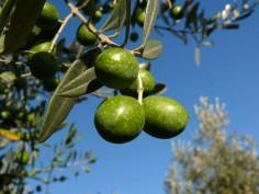 Mouche de l'olivier
