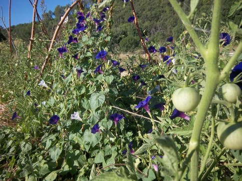 Tomates et Ipomées