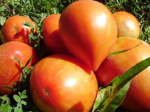 Tomates Reif red
