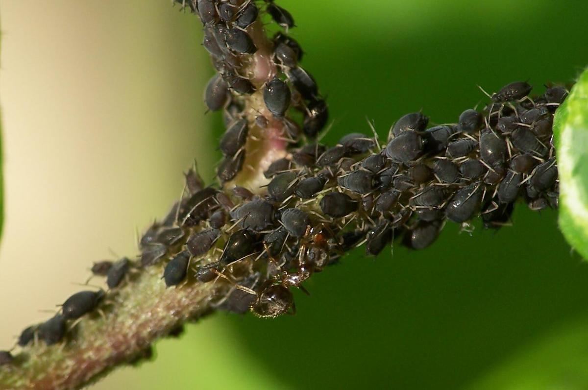 Traiter efficacement et naturellement les pu erons permaculture - Puceron blanc plante verte ...