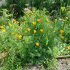 Pavots et fleurs