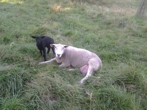 Une de nos brebis et agneaux