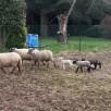 troupeaux au complet ... ou presque, on attend encore un agnelage cette semaine