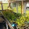 Culture des plants