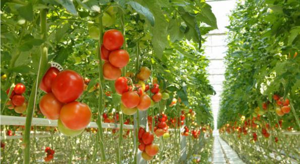Plus de 80 pesticides différents dans les fraises et les tomates
