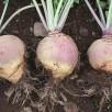 Le rutabaga, un légume oublié à redécouvrir pour s'armer contre le cancer
