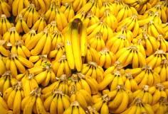 La banane des Antilles se passe de pesticides