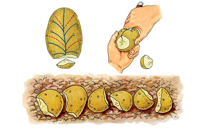 Le secret pour des r coltes normes de pommes de terre permaculture - Quand planter pomme de terre ...