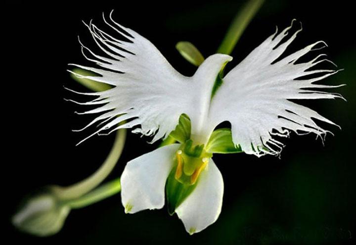 orchidee aigrette blanche2