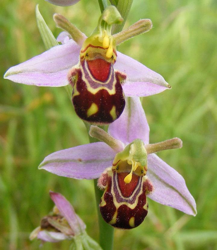 orchidee bourdon2