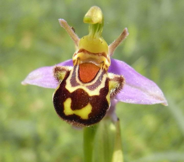 orchidee bourdon3