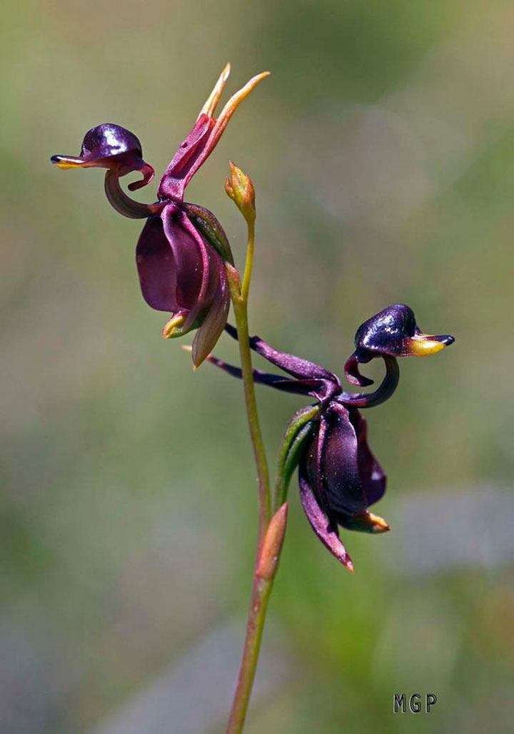 orchidee canard volant