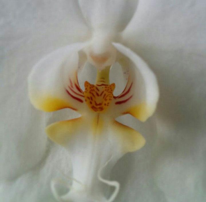 orchidee leopard