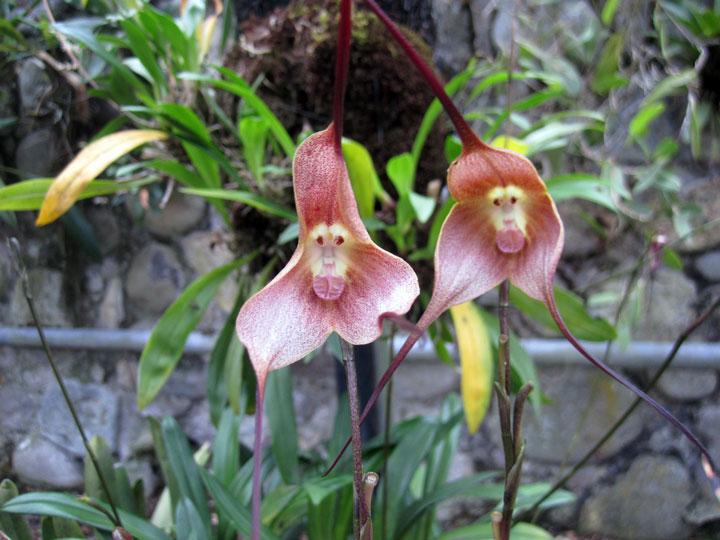 orchidee singe 3