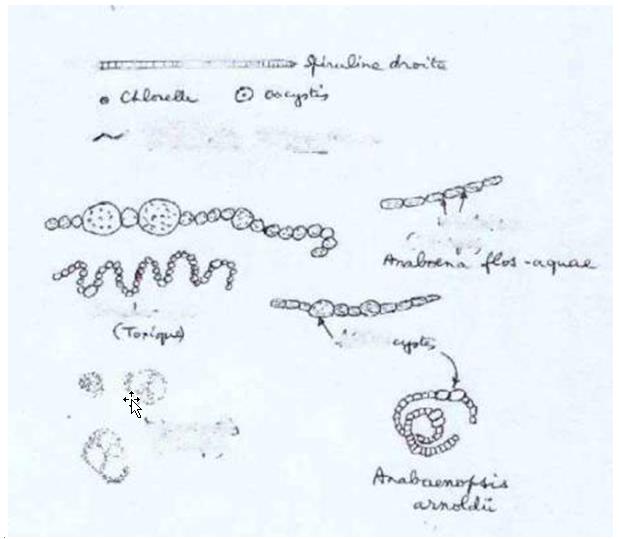 algues spiruline planches