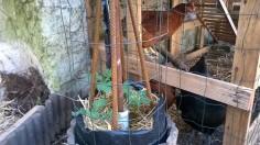 ma 2ième tour à pomme de terre, faite le 05/04/15 et au dessus j'ai installée mes tomate suspendues