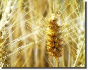 cereales et légumineuses (3)