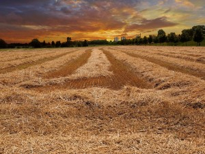 cereales et légumineuses (4)