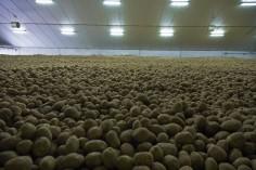 culture pomme de terre (5)