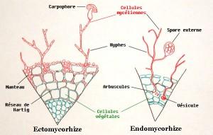 Mycorhizes (1)