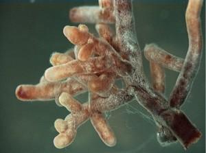 Mycorhizes (3)