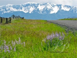 Zumwalt_Prairie, Zumwalt_Prairie_road_and_Wallowa_Mts, Zumwalt_Prairie_purple_lupine