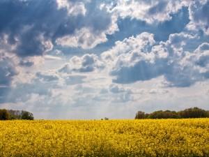 cultures du colza jospeh pousset (4)