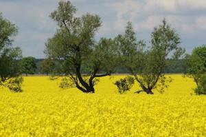 cultures du colza jospeh pousset (6)