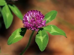 le trfle violet joseph pousset permaculture (1)