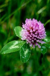 le trfle violet joseph pousset permaculture (3)