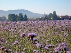 le trfle violet joseph pousset permaculture (4)