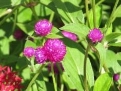 le trfle violet joseph pousset permaculture (5)