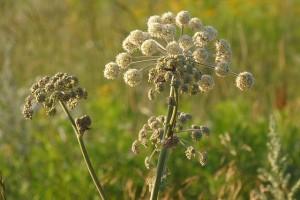 mauvaises herbes joseph pousset permaculture (1)