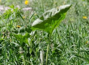 mauvaises herbes joseph pousset permaculture (2)