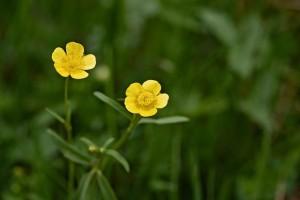 mauvaises herbes joseph pousset permaculture (3)