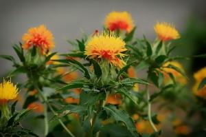 mauvaises herbes joseph pousset permaculture (4)