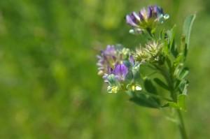 mauvaises herbes joseph pousset permaculture (5)