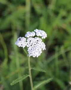 mauvaises herbes joseph pousset permaculture (7)