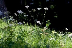 mauvaises herbes joseph pousset permaculture (21)