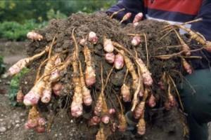 culture biologique du topinambourg permaculture (2)