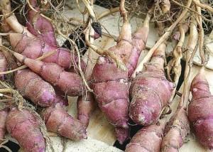 culture biologique du topinambourg permaculture (5)