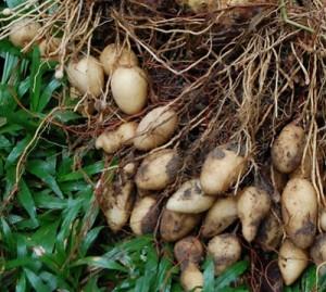 culture biologique du topinambourg permaculture (6)