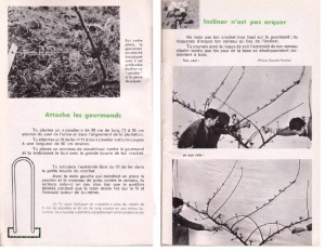 Haie de pommiers semi-vigoureuse - B. Thomasjpg_Page11_Image1