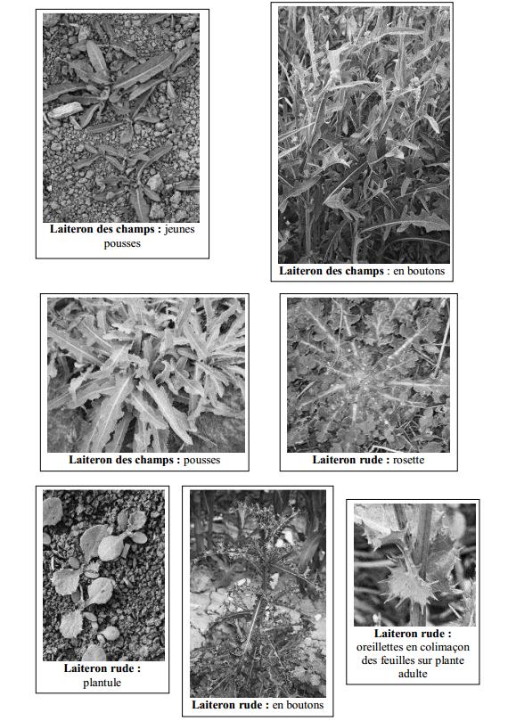 Guide des mauvaises herbes permaculteurs (17)