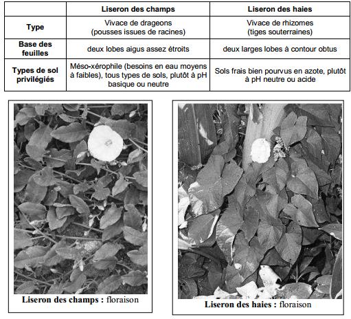 Guide des mauvaises herbes permaculteurs (19)