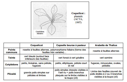 Guide des mauvaises herbes permaculteurs (21)